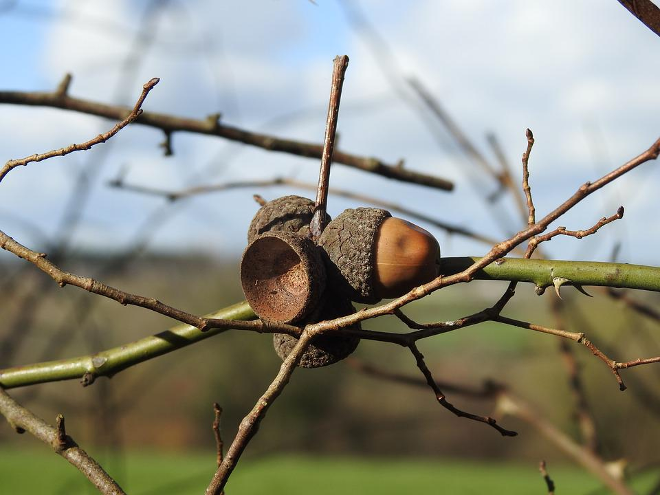 Tree, Nature, Outdoor, Close Up, Acorn, Oak