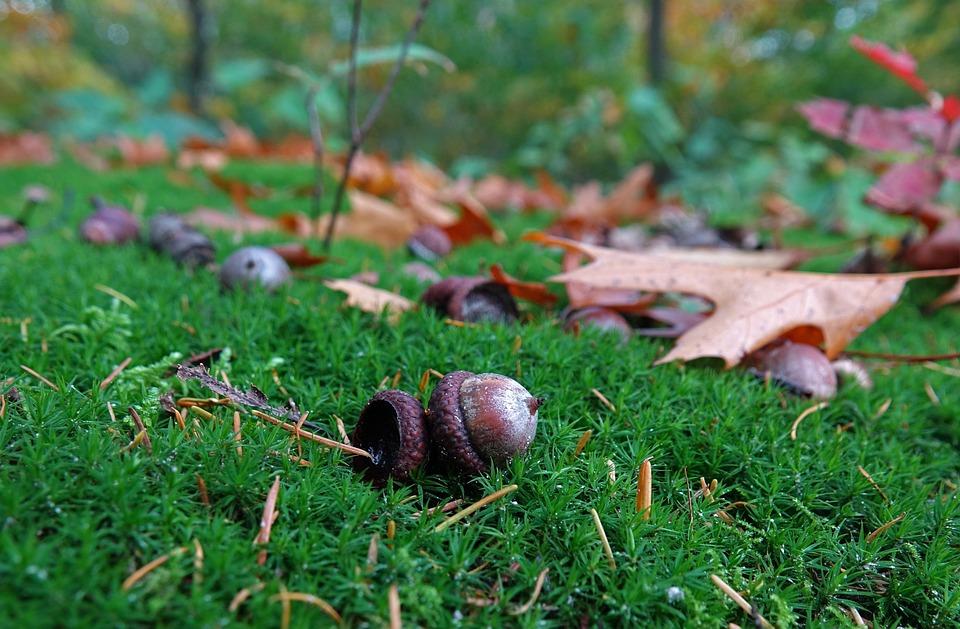 Autumn, Leaves, Acorn, Acorns, Oak Leaf, Forest