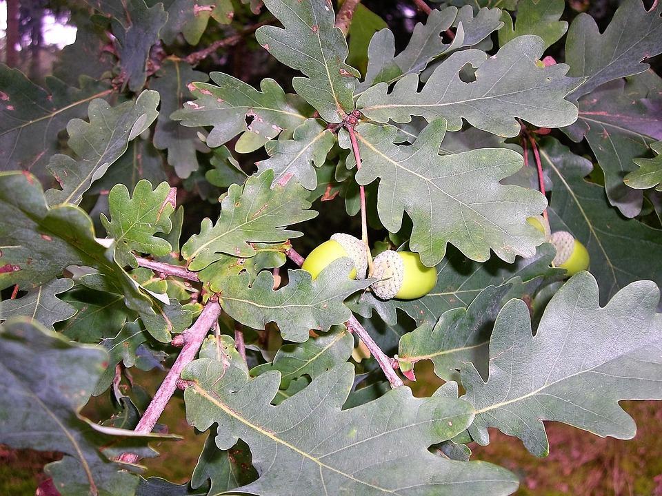 Leaves, Acorns, Oak Leaf, Green, Autumn