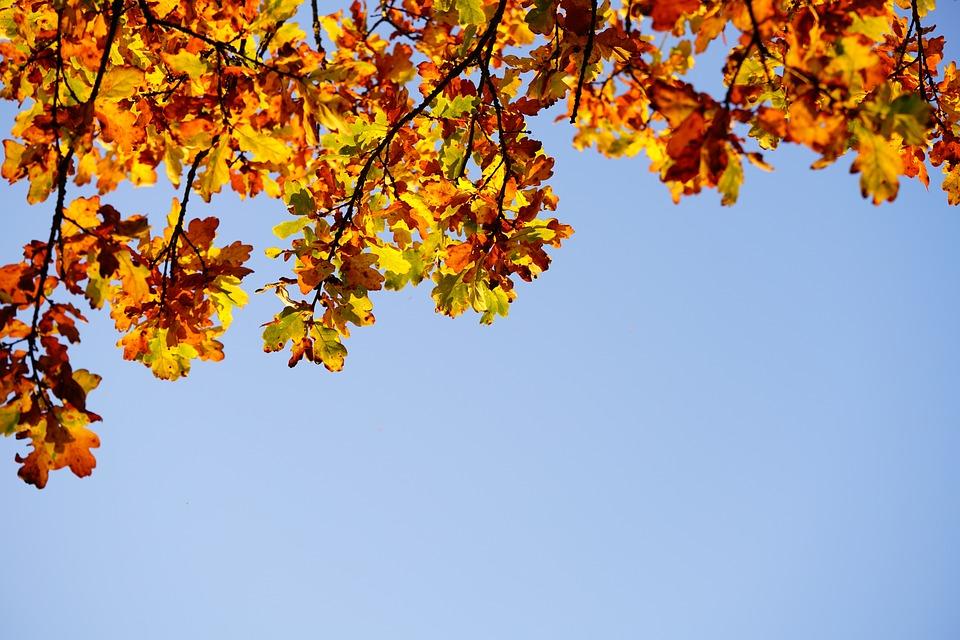 Oak Leaves, Leaves, Oak, Fall Foliage, Autumn Colours