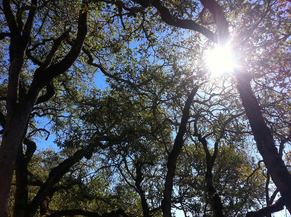 Oak, Oak Tree, Nature, Sky, Branches, Trees, Sun