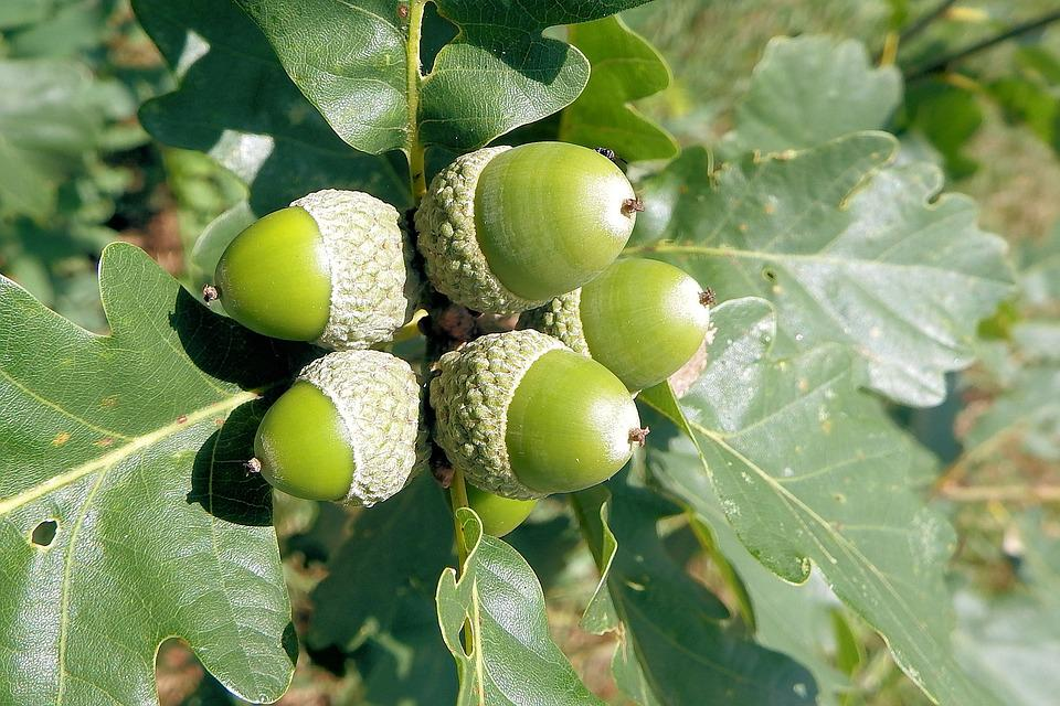 Charming Oak Tree Fruit Part - 14: Acorns, Oak Leaves, Oak, Nature, Forest, Tree Fruit