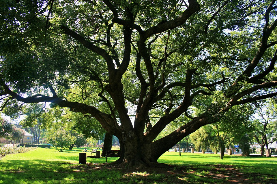 Oak Tree, Tree, Oak, Majestic, Old, Grand, Big, Shade