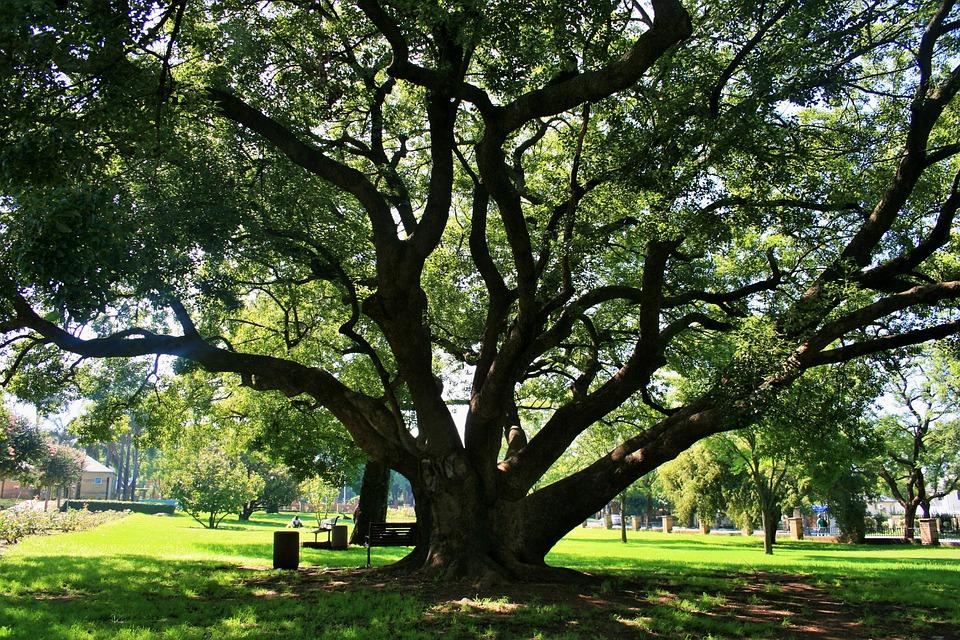 Oak Tree, Tree, Oak, Majestic, Old, Grand, Big, Shade