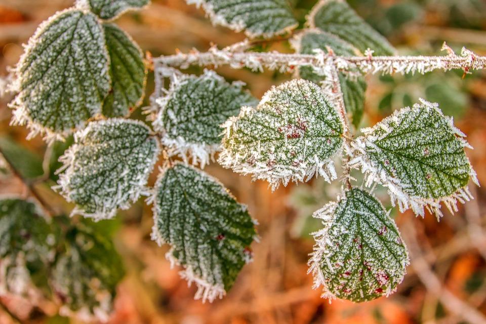 Nature, Winter, Oak, Leaves, Green, Hoarfrost
