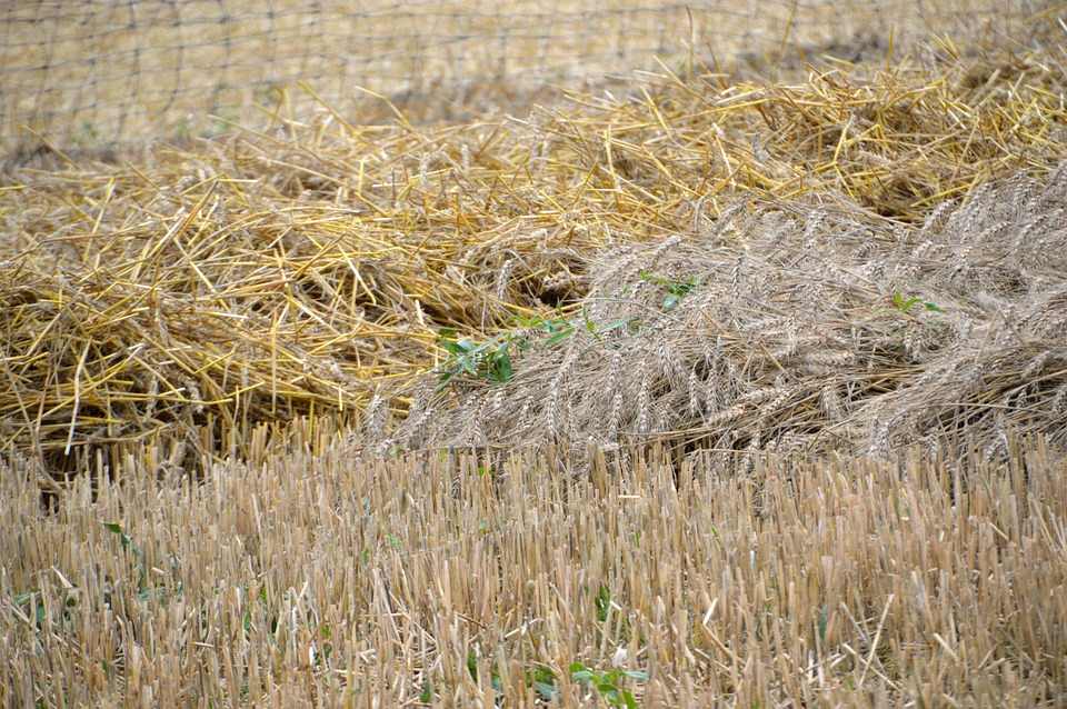 Culture, Wheat, Oats, Barley, Field, Nature