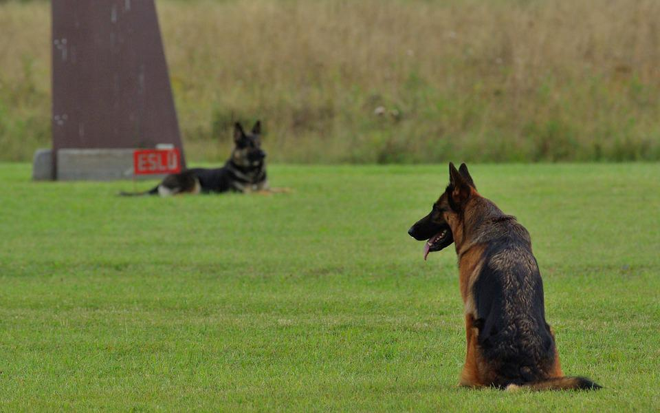 German Shepherd, Dog, Obedience, Competition, Animal