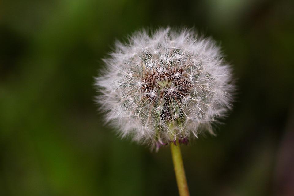 Dandelion Mr Hall, Nature, Plants, Flowers, Obsession