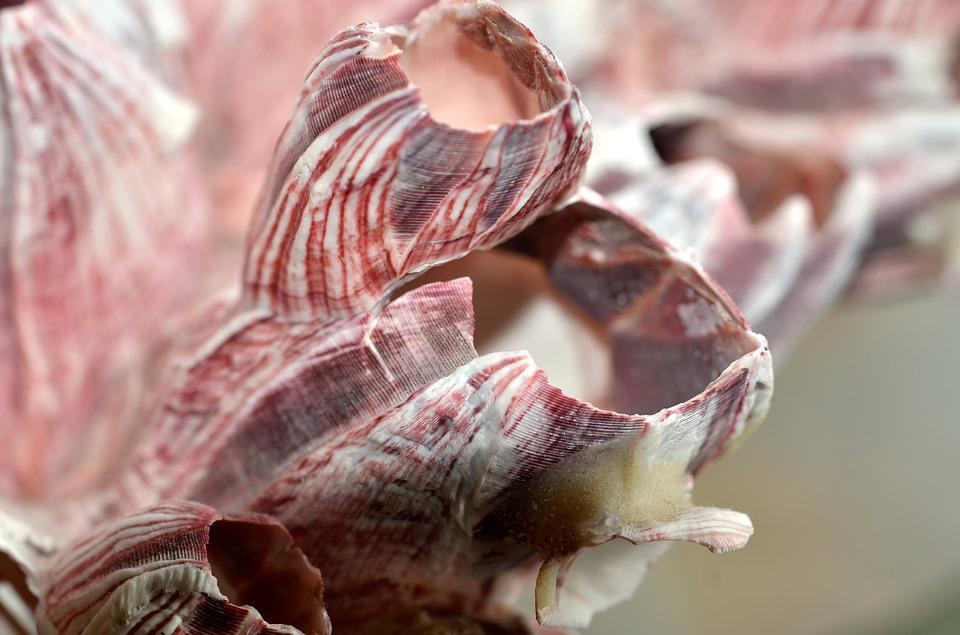 Shell, Coral, Pink, Sea, Ocean, Crustacean, Decoration