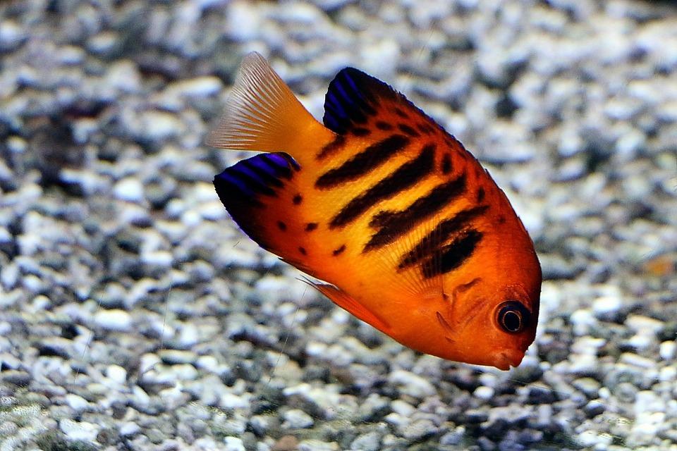 Fire-duke Fish, Reef, Coral, Ocean, Sea, Underwater