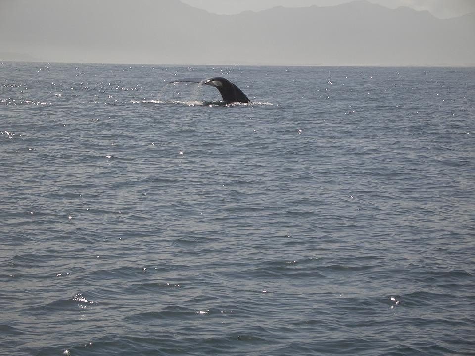 Humpback Whale, Caudal Fin, Mammal, Ocean, Nature