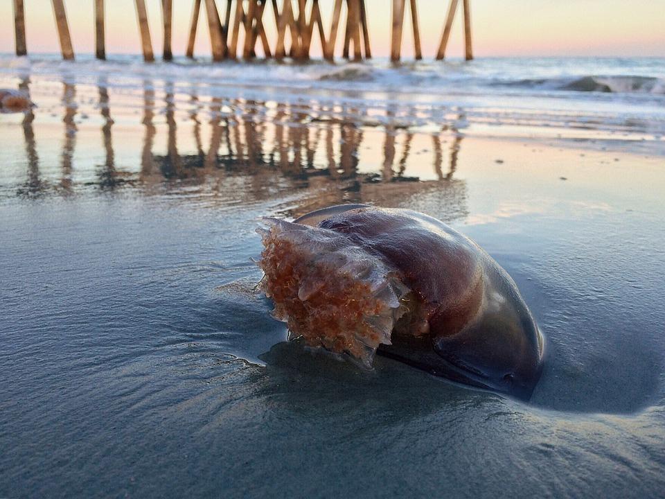 Beach, Ocean Sand, Jellyfish, Nature, Sea