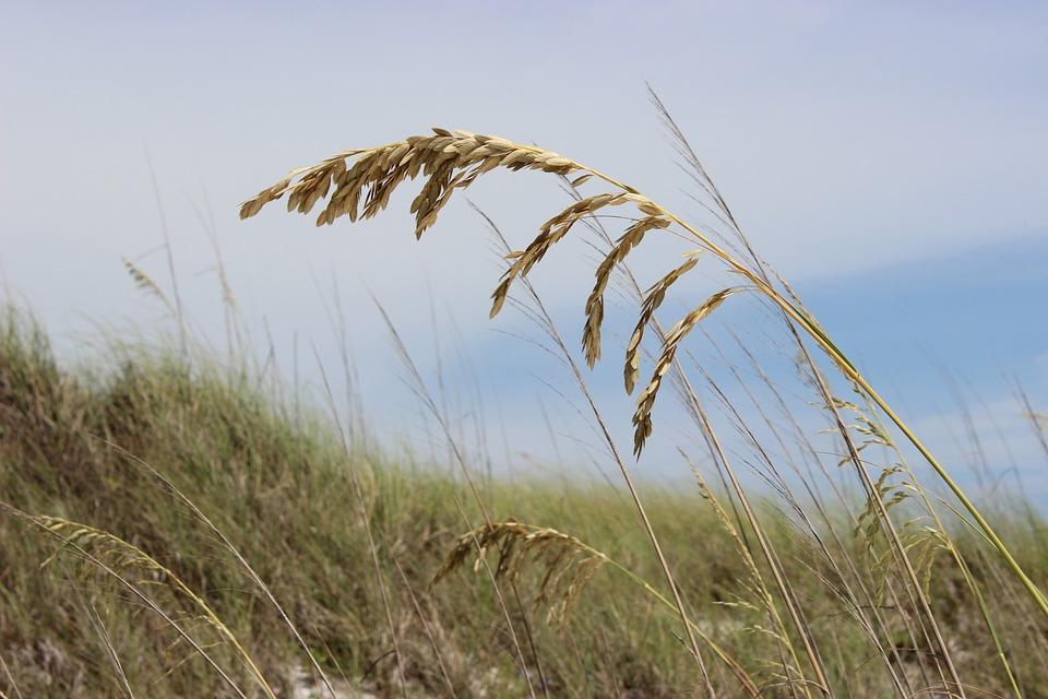 Sea Oats Beach Gr Sand Ocean Florida
