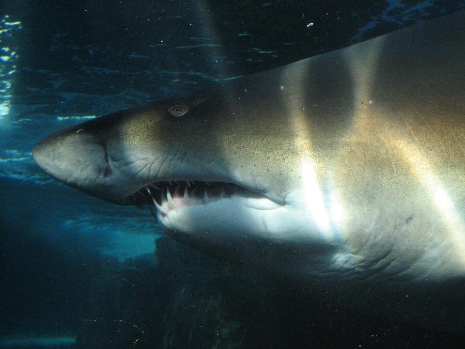 Shark, Underwater Sea, Ocean, Sea, Fish, Underwater