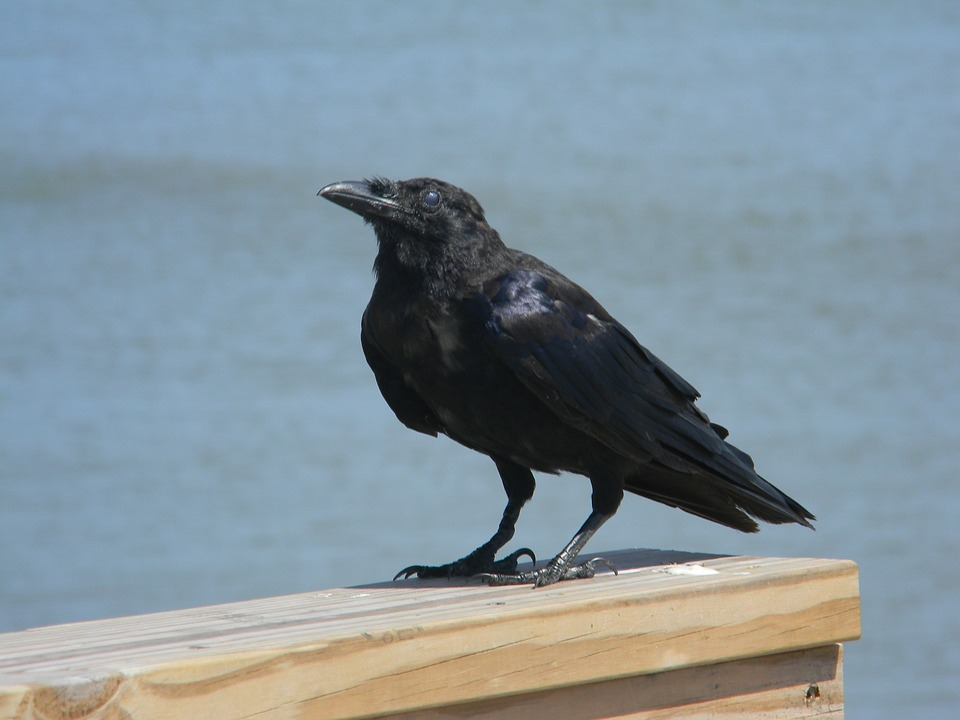 Raven, Ocean, Sea, Pier, Bird, Water
