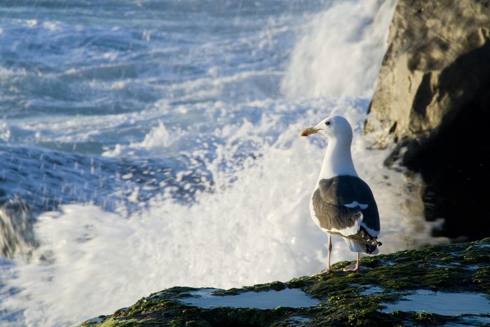 Gull, Sea, Bird, Nature, Seagull, Ocean, Animal, Wild