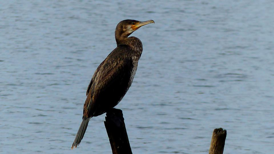 Birds, Lake, Oceans, Water, Nature, Pen, Waterfowl