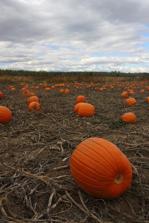 Pumpkin Patch, October, Pumpkin, Field, Autumn, Orange