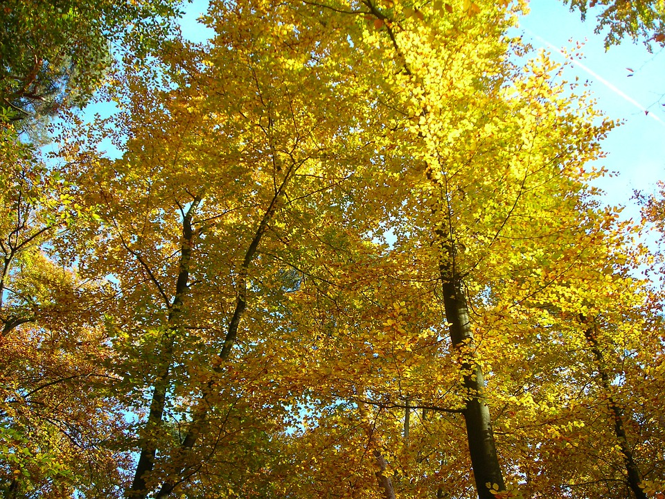 Beech Wood, Canopy, Golden, October, Autumn, Sunny