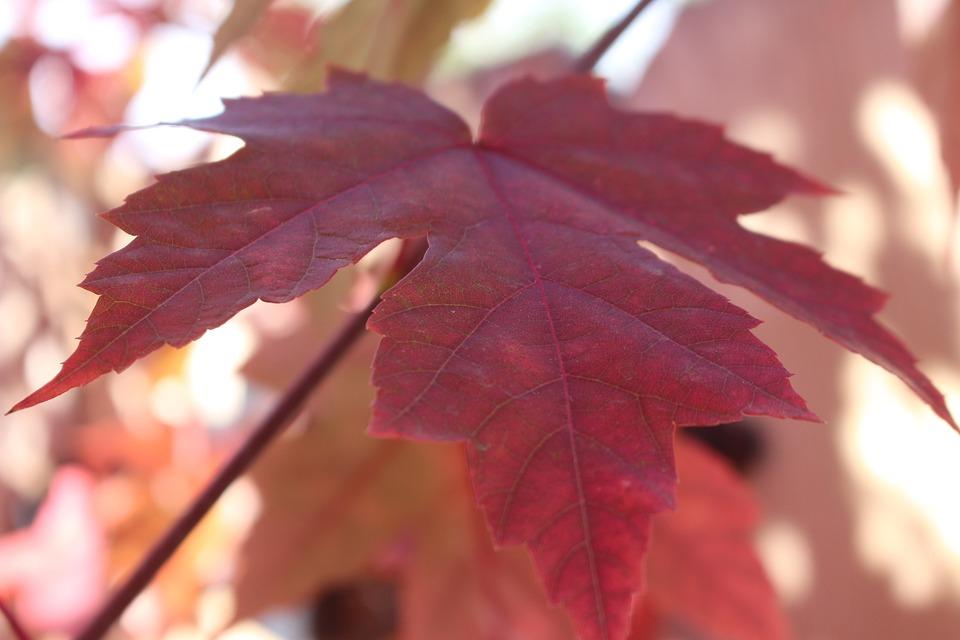 Autumn, Leaves, Fall Leaves, Maple Tree, October