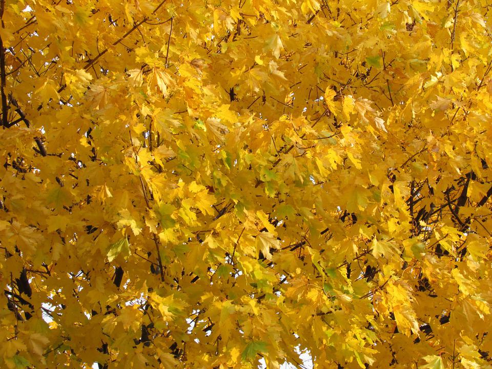 Fall, Autumn, Leaves, October, Foliage, Gold, Maple