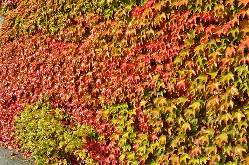 October, Vine Leaves, Fall Color, Nature, Colorful