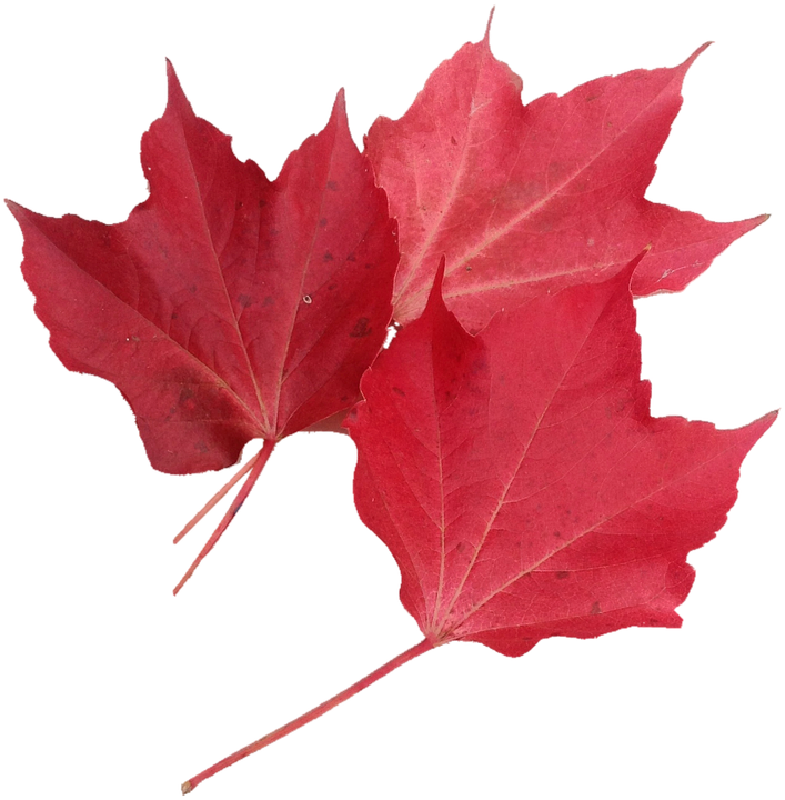 Isolated, Red Maple Leaf, Nature, Autumn, October