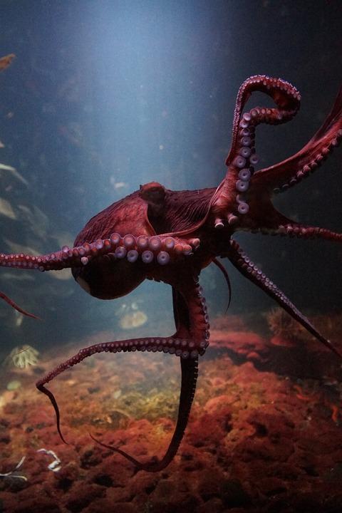 Octopus, Sea Life Underwater, Ocean, Fauna, Water