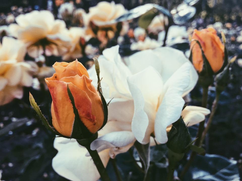 Roses, Flowers, Odor