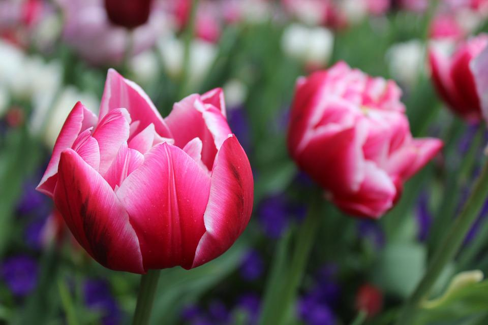 Flower, Tulips, Red, Pink, Nature, Plant, Of Course