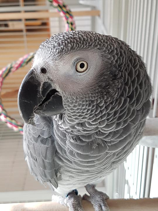 African Grey Parrot, Of The Congo, Animal Portrait