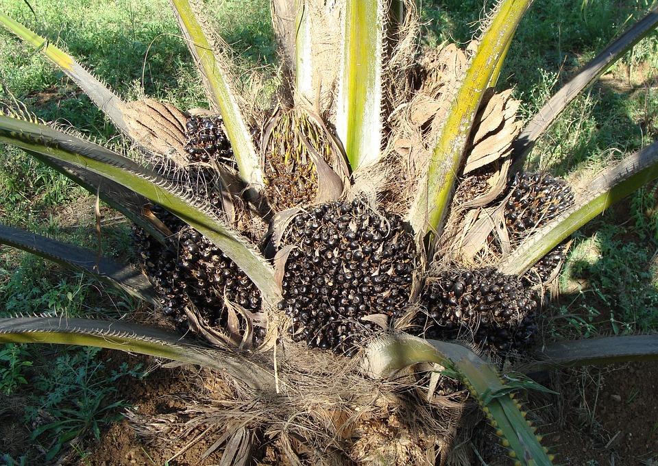 Oil Palm, Fruit Bunch, Tree, Vegetable Oil
