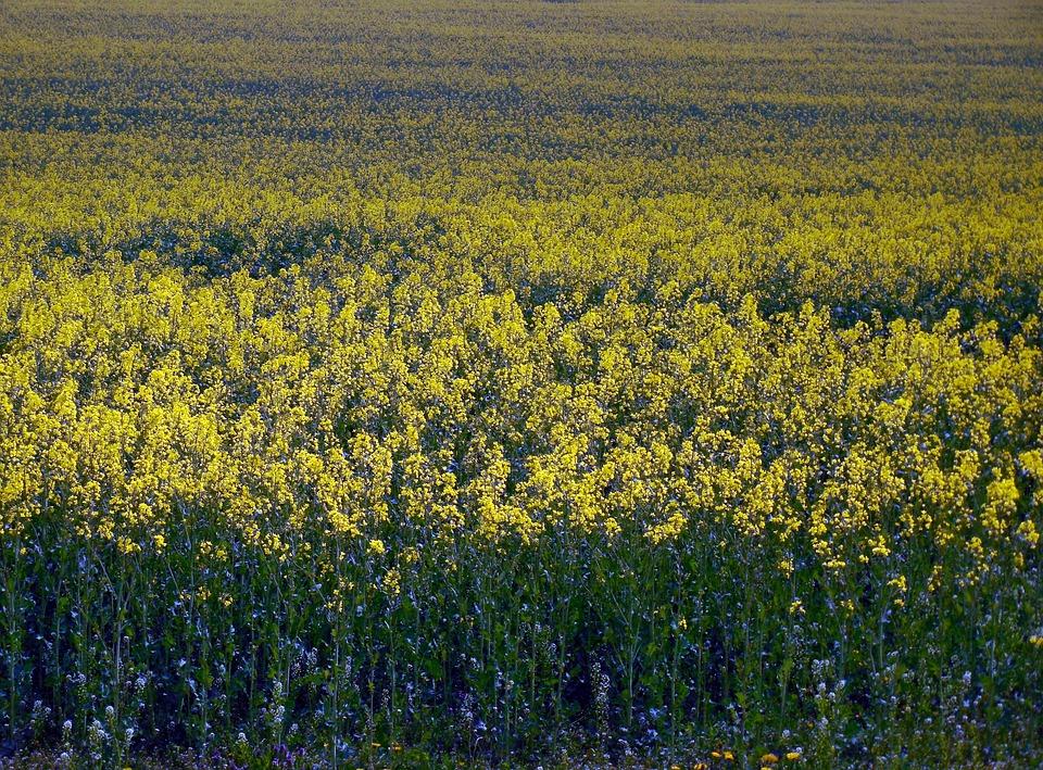 Oilseed Rape, Field Of Rapeseeds, Field