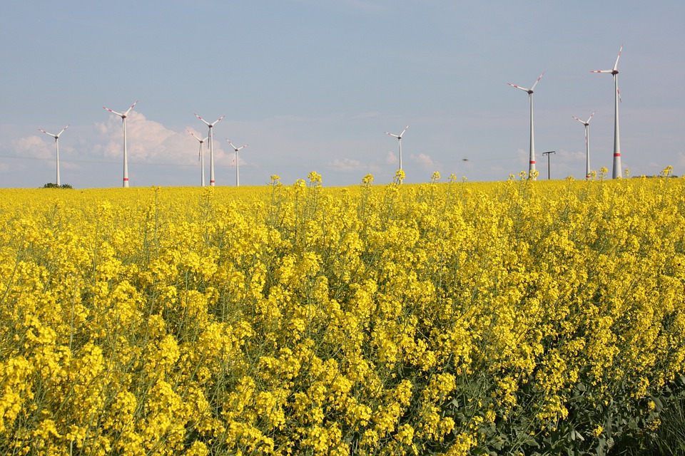 Renewable Energy, Green Energy, Oilseed Rape
