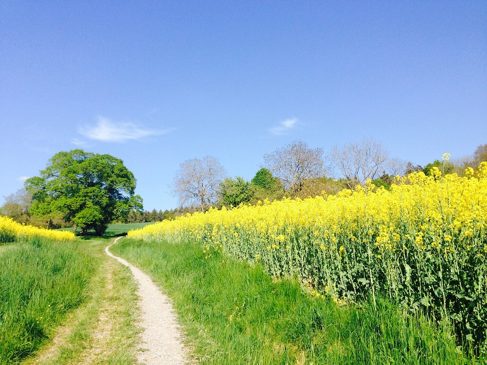 Field Of Rapeseeds, Oilseed Rape, Lane, Field, Tree