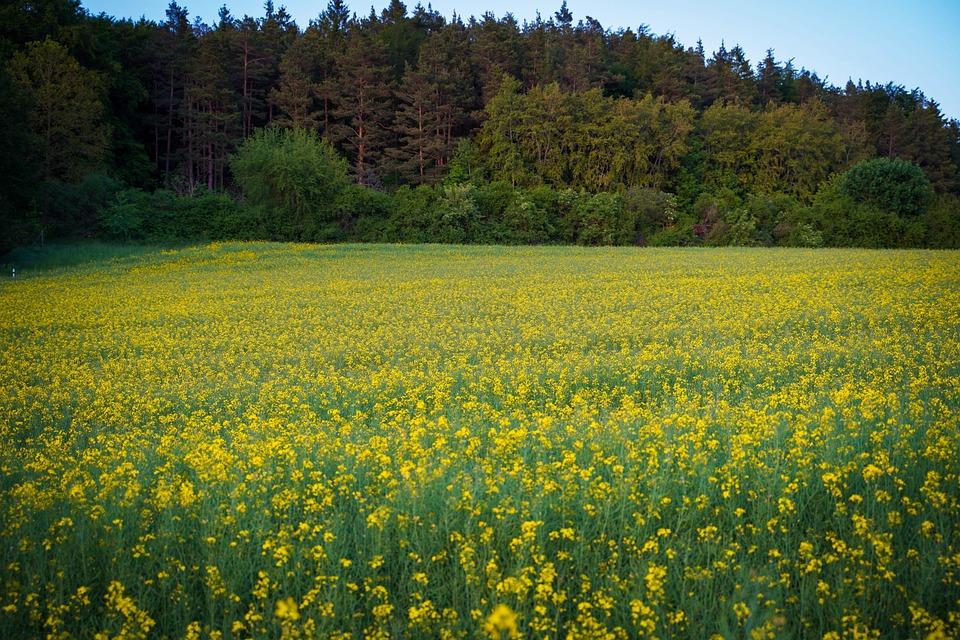 Oilseed Rape, Field Of Rapeseeds, Meadow, Nature