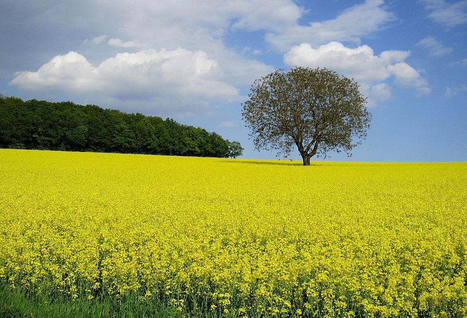 Oilseed Rape, Field Of Rapeseeds, Spring, Field, Yellow
