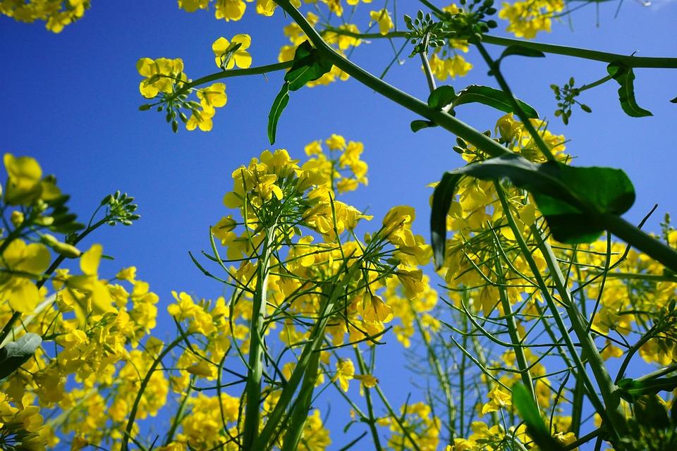 Rape Blossoms, Inflorescence, Oilseed Rape, Yellow