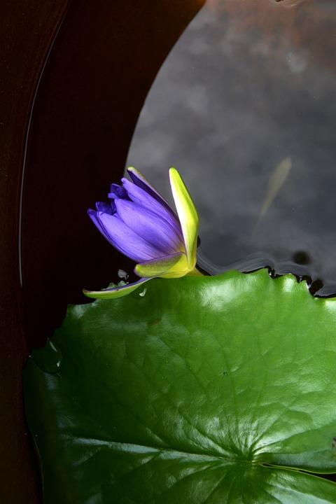 Okinawa, Water Lilies, Fish Tank
