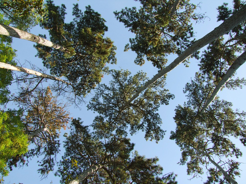 Trees, Pines, Forest, Old, Elderly, High, From Below