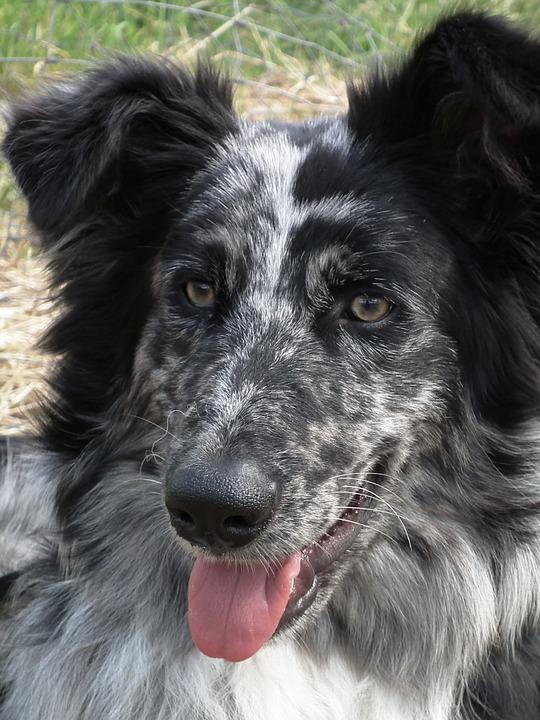 Old German Sheepdog, Dog, Mackerel, Black, Portrait