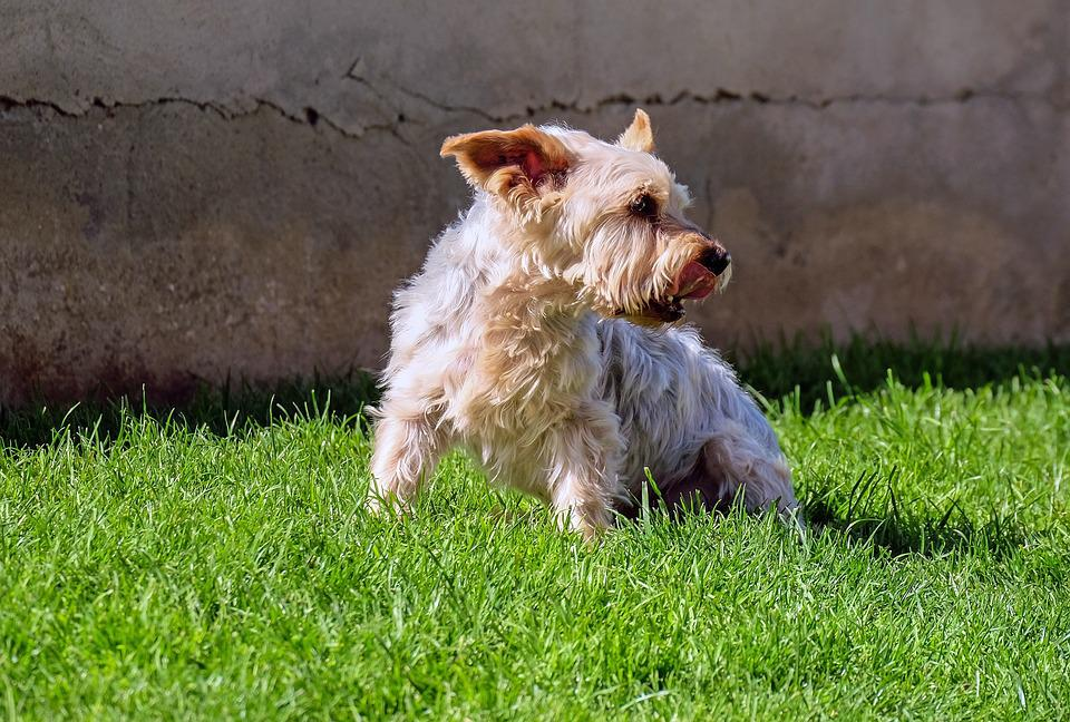 Dog, Yorkshire Terrier, Small, Old, Meadow