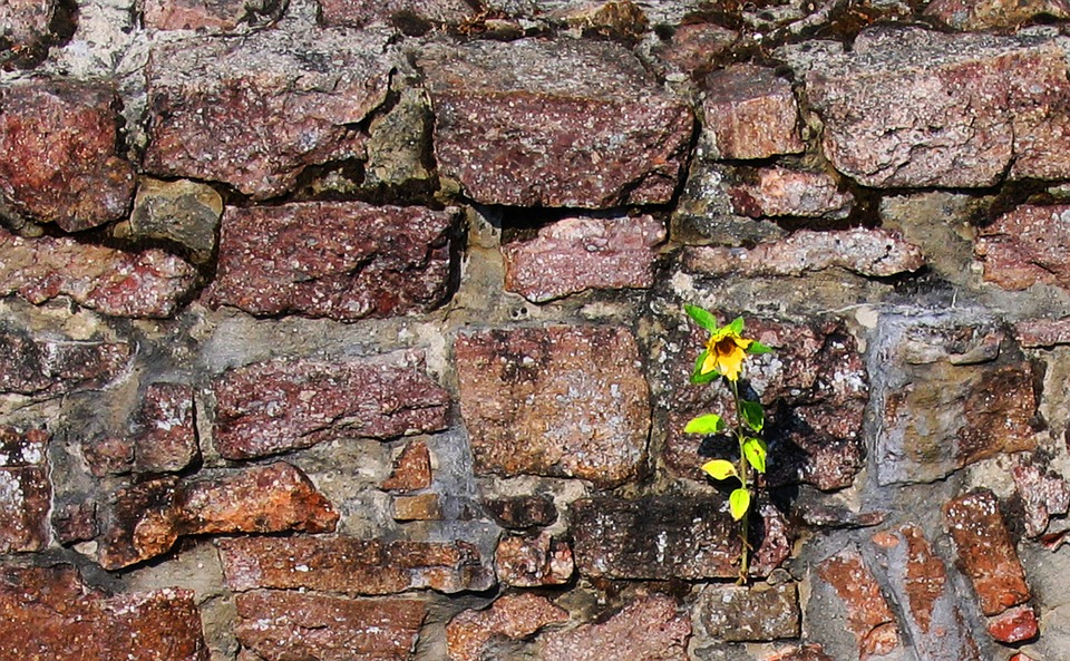Nature, Sun Flower, Wall, Old, Stone Wall, Ruin