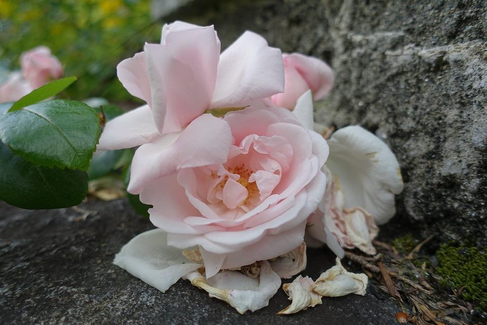 Roses, Old Roses, Vanishing, Garden, Pink, Natural