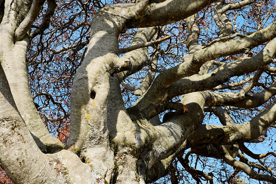 Tree, Crown, Beech, Old Tree, Deciduous Tree, Gnarled
