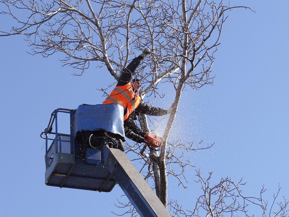 Saw Cut, Trees, Old Tree, Felling