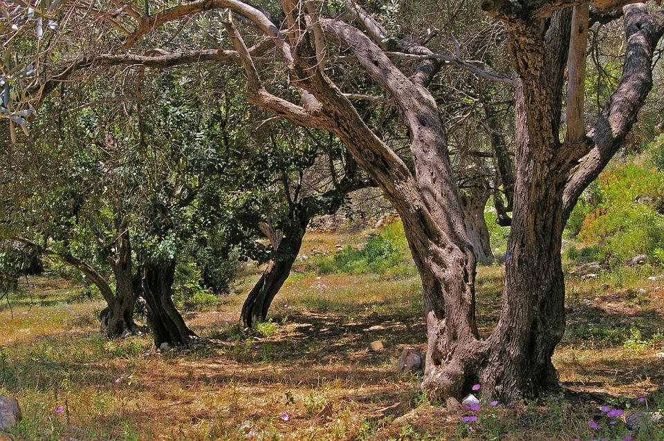 Olive Trees, Old, Olive Tree, Log, Wood, Olives, Tree