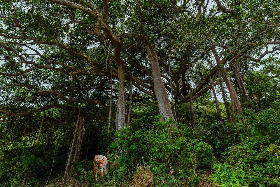Jungle, Green, Forest, Trees, Old Trees, Big Tree