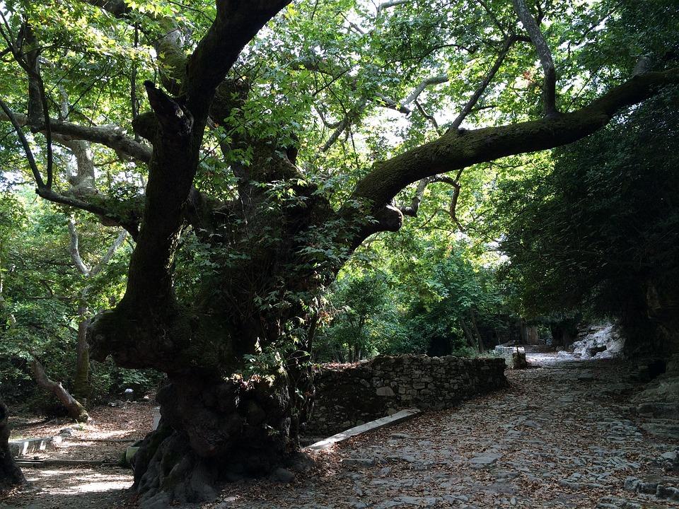 Tree, Old, Oak, Tribe, Green, Leaves, Log, Nature