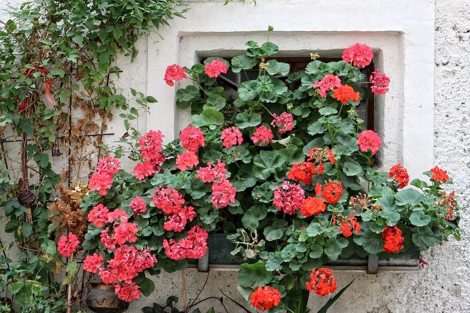Geranium, Pelargoniums, Window, Old, Old Window, Facade